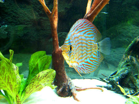 discus fish Stock Photo - 16638109