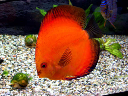 discus red Stock Photo - 16638125
