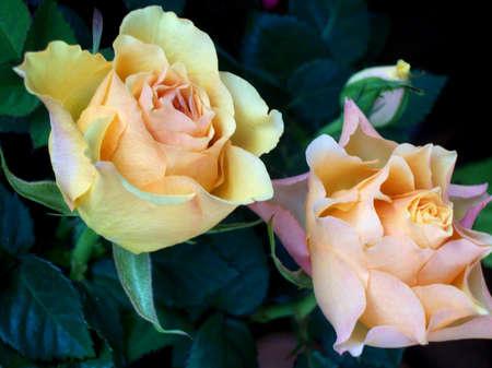 rosa Archivio Fotografico