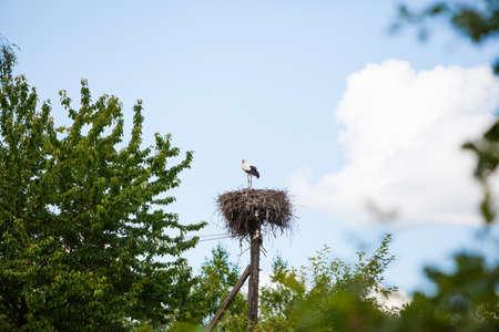 stork in nest in summer in Latvia