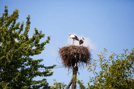 Two storks in nest in summer in Latvia