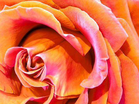 róża Zdjęcie Seryjne