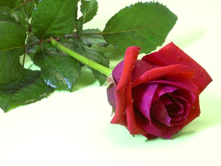 red rose Zdjęcie Seryjne