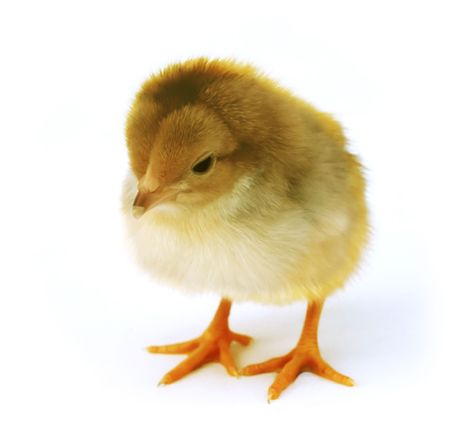 chick Zdjęcie Seryjne