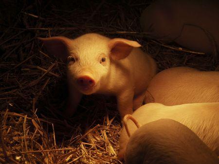 Świnia Zdjęcie Seryjne