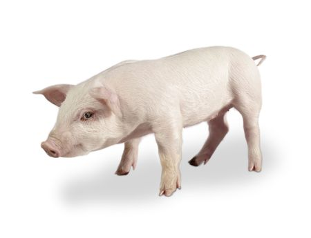 Świnia Zdjęcie Seryjne - 443413