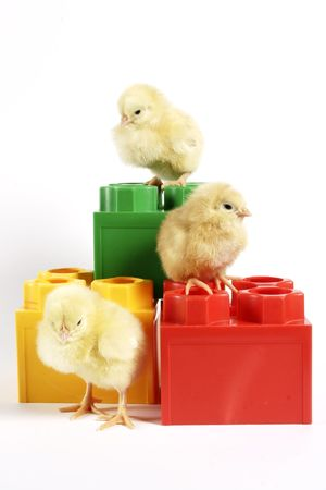 cock duck: chick Stock Photo