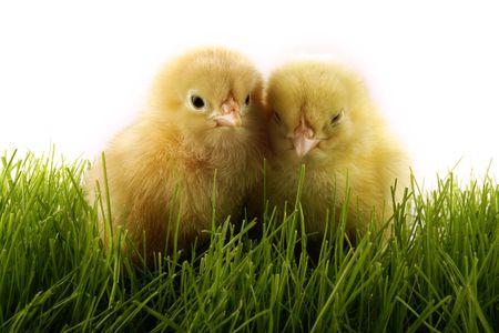 """Wielkanoc kurcząt. Żółte kurczaki """"gang Zdjęcie Seryjne - 689555"""