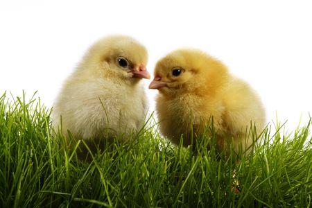 """Wielkanoc kurcząt. Żółte kurczaki """"gang Zdjęcie Seryjne"""