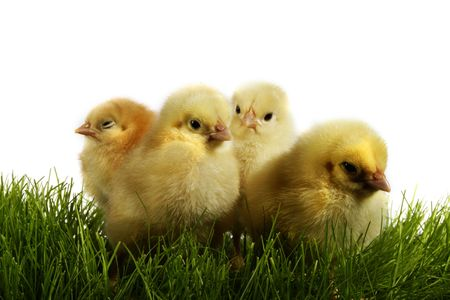 Easter chickens. Yellow chickens' gang
