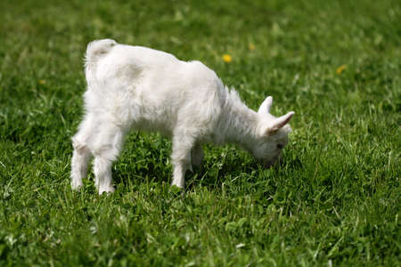 Funny goat on green meadow photo