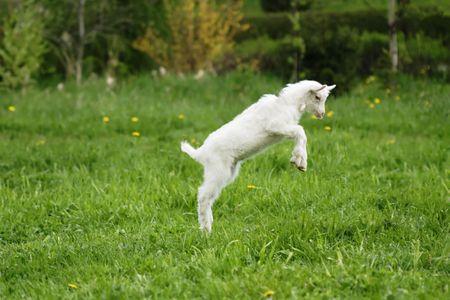 cabra: Funny cabra en prado verde Foto de archivo