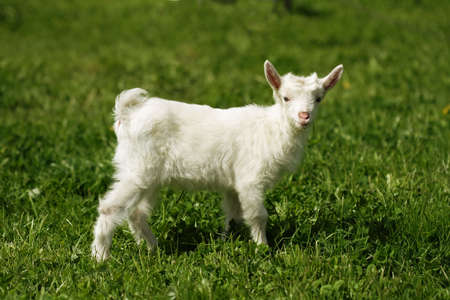 Śmieszne kozy na zielonej łące Zdjęcie Seryjne