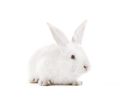 The rabbit with a white background