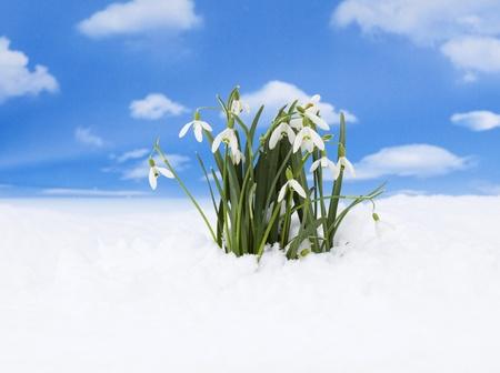Åšnieżyczka - pierwszy znak wiosny Zdjęcie Seryjne