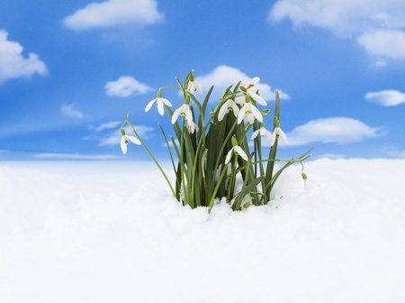 Snowdrop - the first sign of coming spring
