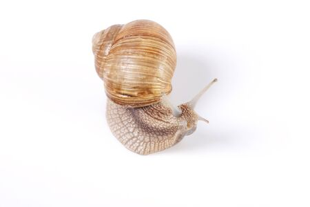 rarity: Edible Snail - Isolated on white backgrounds