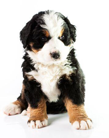mountain dog: Bernese Mountain Dog. Beautiful puppy.