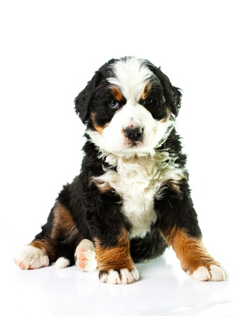 Bernese Mountain Dog  Beautiful puppy