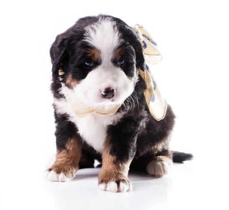Berneński pies pasterski Piękny szczeniak