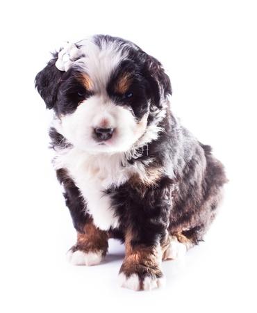 Berneński pies pasterski szczeniak piękna Zdjęcie Seryjne