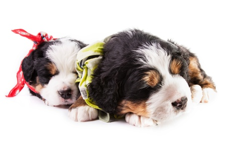 Berneński pies pięknych szczeniąt