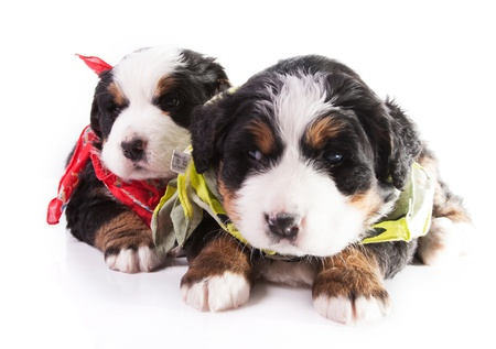 Bernese Mountain Dog  Beautiful Puppies  Zdjęcie Seryjne