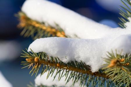Drzew iglastych, w mroźny zimowy poranek