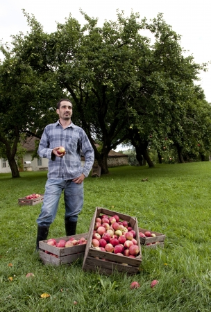 Beautiful and delicious apples in the orchard