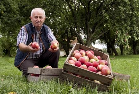 Piękne i pyszne jabłka w sadzie