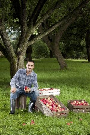 Piękne i pyszne jabłka w sadu