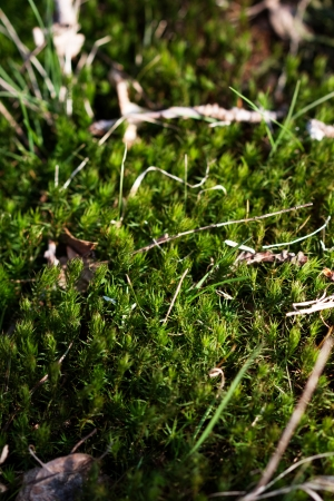 Macro photo of moss in deciduous forest