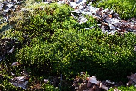 Fotografia makro z mchu w lasach liściastych