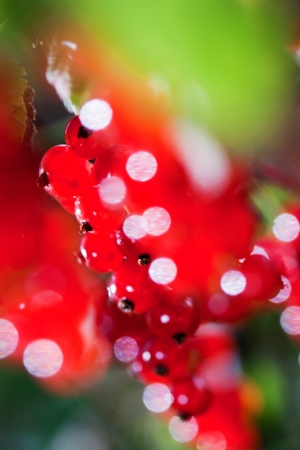 Beautiful red currants  Interesting blurry