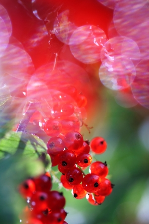 Beautiful red currants  Interesting blurry background