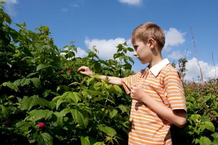 Boy gathering ripe raspberry from bush