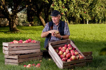 orchards: Beautiful and delicious apples in the orchard