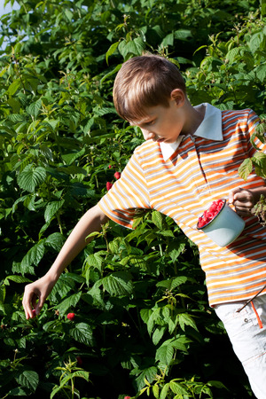Chłopiec zbieranie dojrzałych malin z buszu Zdjęcie Seryjne
