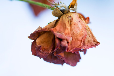 Frozen and withered flower rose but still beautiful