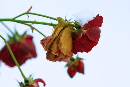 Mrożony i zwiędły kwiat róży, ale wciąż piękny