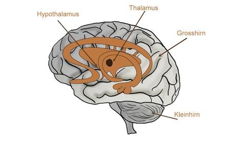 hipofisis: el cerebro