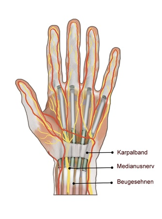 carpal tunnel: carpal tunnel