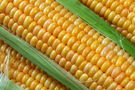 Corn ears background, close up photo