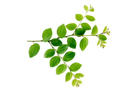 Fresh green leaves and branch of tree on white background. Banco de Imagens