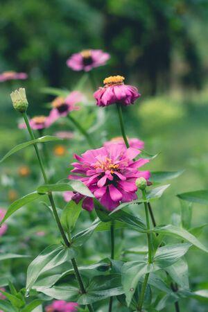 Beautiful zinnia flower in the garden