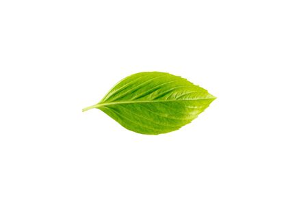 Fresh green leaves and branch of tree on white background. Archivio Fotografico