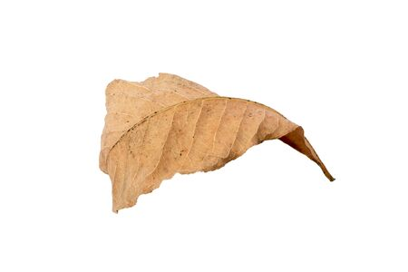 Dry leaf on white backgrounds. Archivio Fotografico