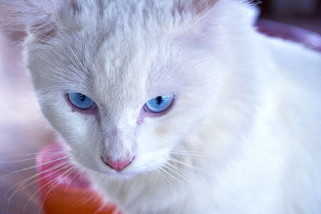 White cat stared by blue eyes