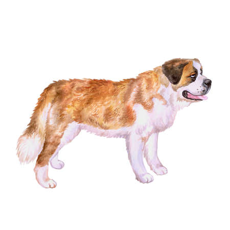 saint bernard: Watercolor portrait of Swiss Alpine mastiff red St Bernard breed dog isolated on white background. Hand drawn sweet pet. Bright colors, realistic look. Greeting card design. Clip art. Add your text