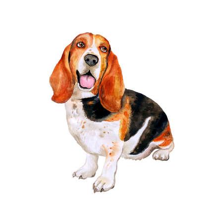흰색 배경에 고립 된 프랑스어, 영어 또는 영국 바 셋 하운드 품종 개가 수채화 초상화. 손으로 그린 달콤한 애완 동물입니다. 밝은 색상, 사실적인